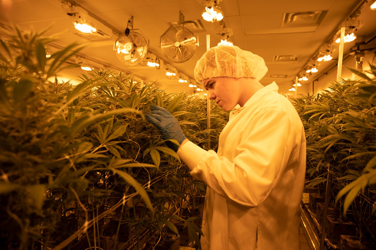 Worker inspecting cannabis plant - All images are from JC Green Inc featuring cannabis cultivated in Thorndale, Ontario using next-generation growing techniques and specializing in small-batch craft grown cannabis.