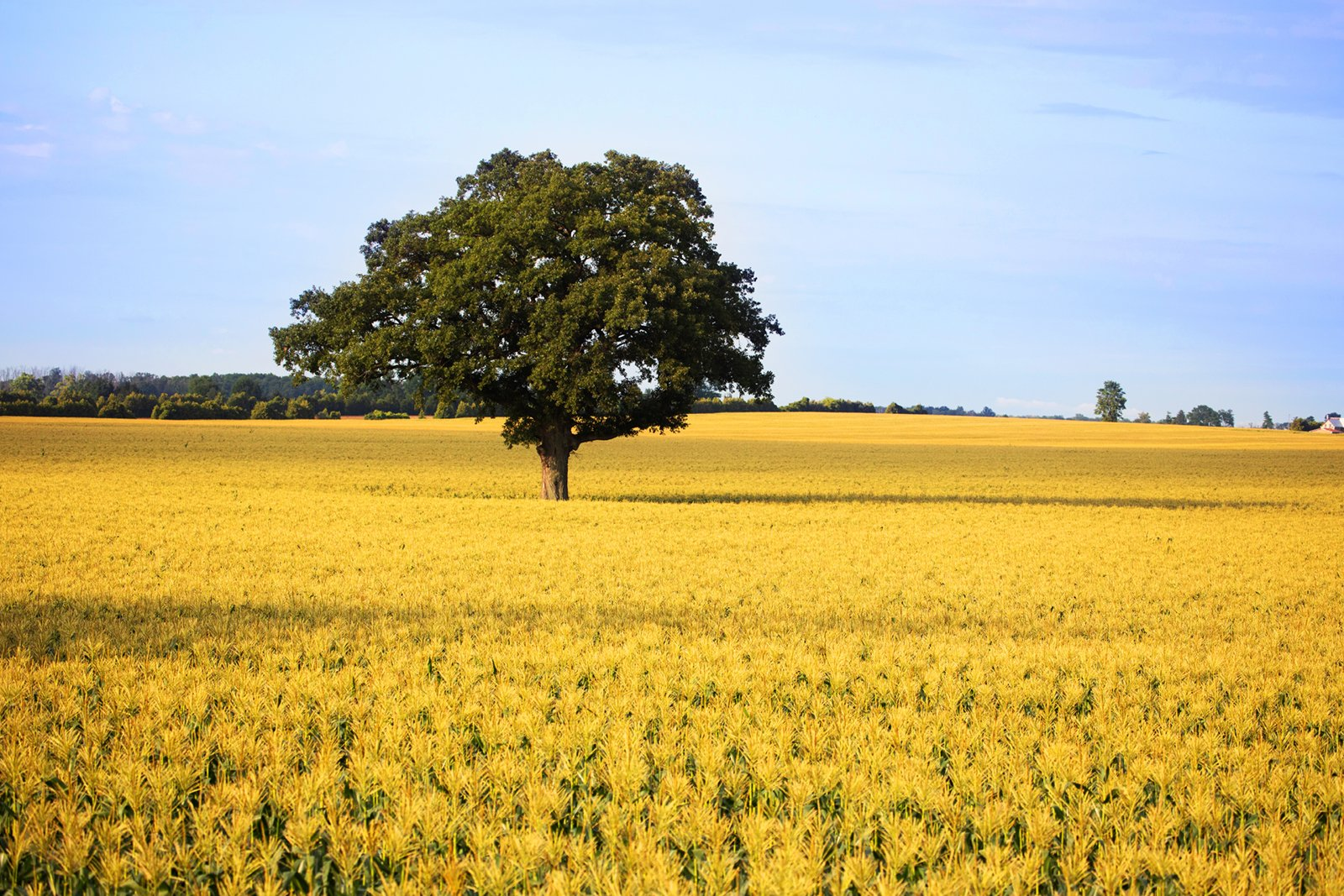 Single tree in gold-coloured field